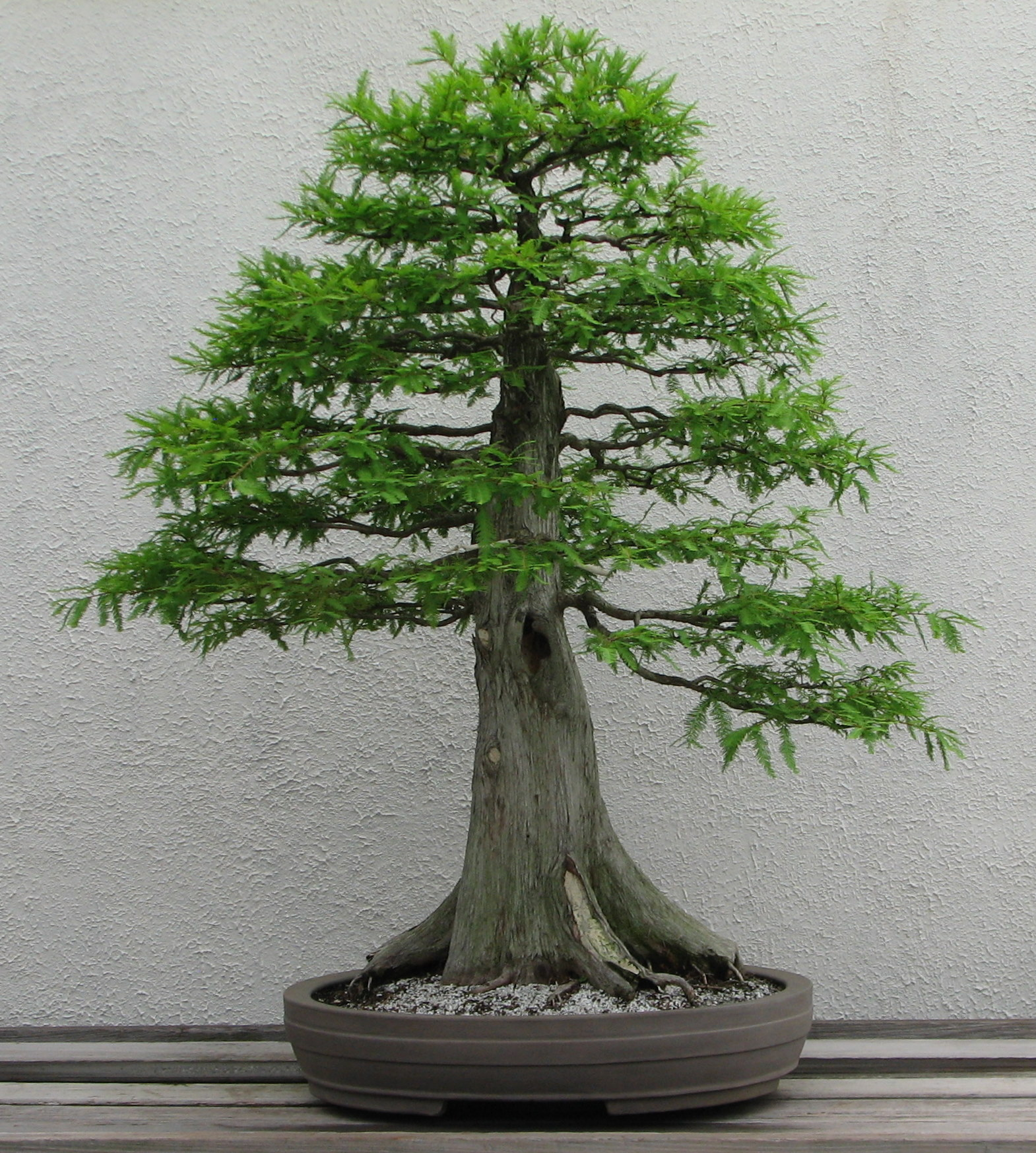 Bonsai styles a guide to picking a style for your bonsai for Bonsai tree pics