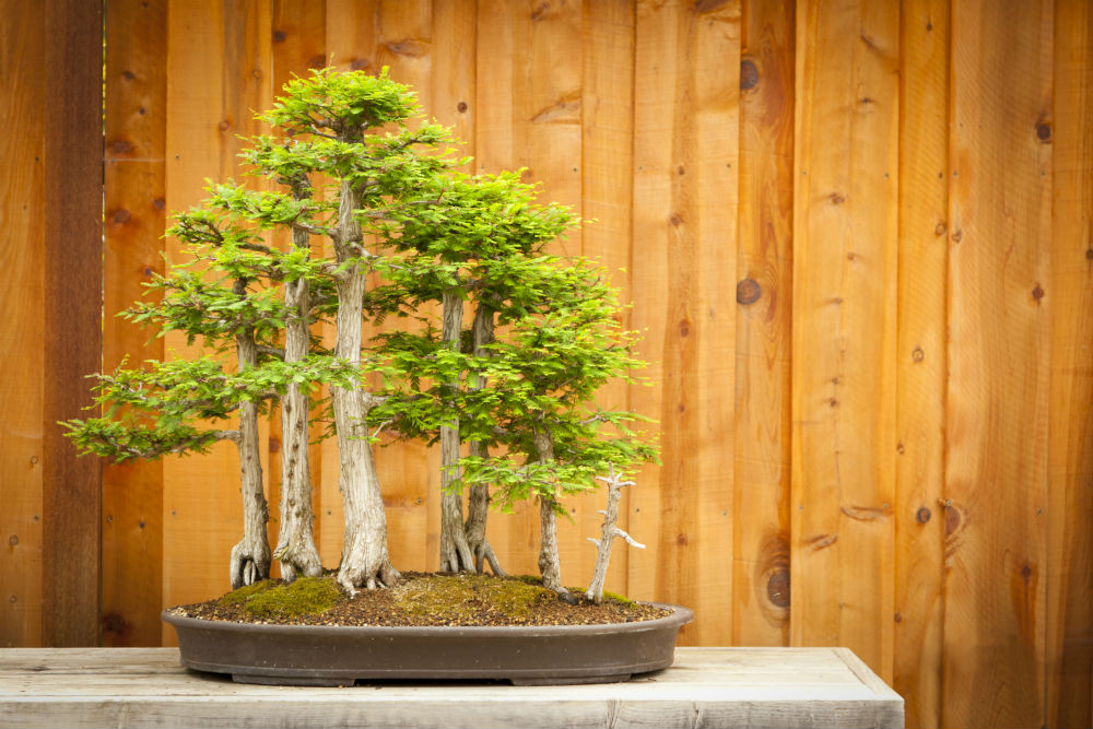 How To Grow A Bald Cypress Bonsai Tree