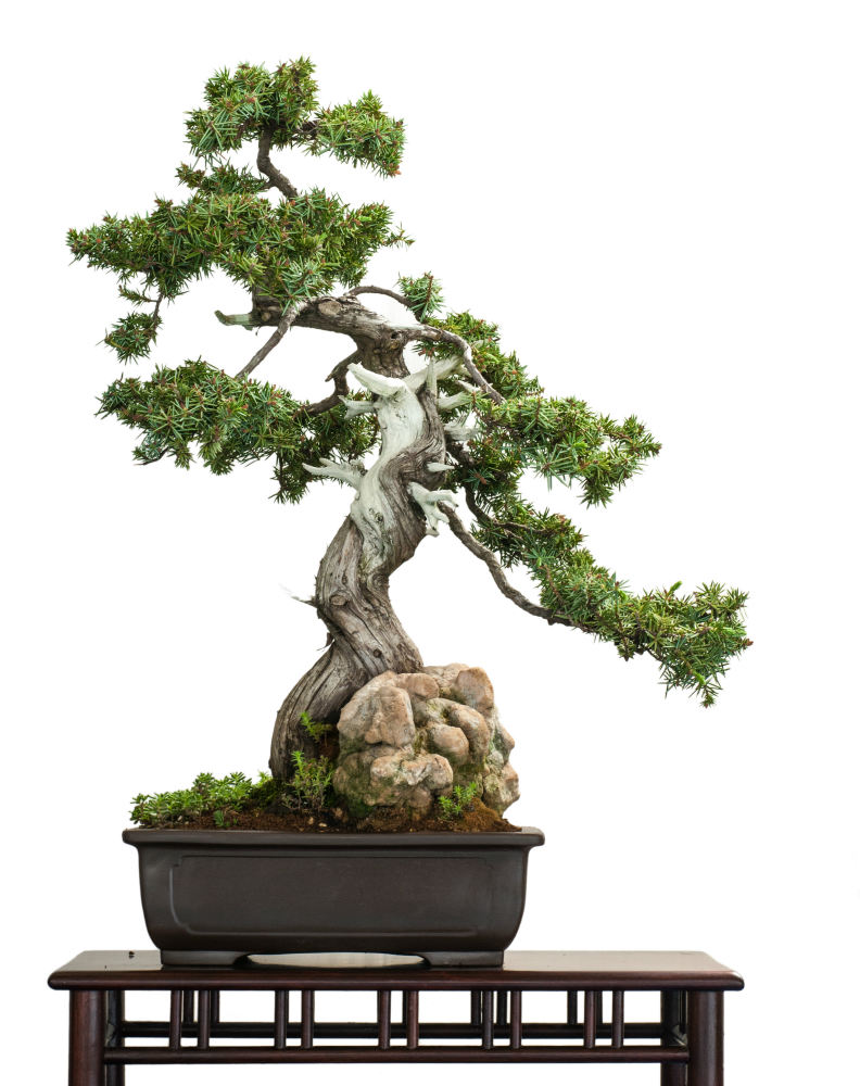 How To Care For A Juniper Bonsai Tree