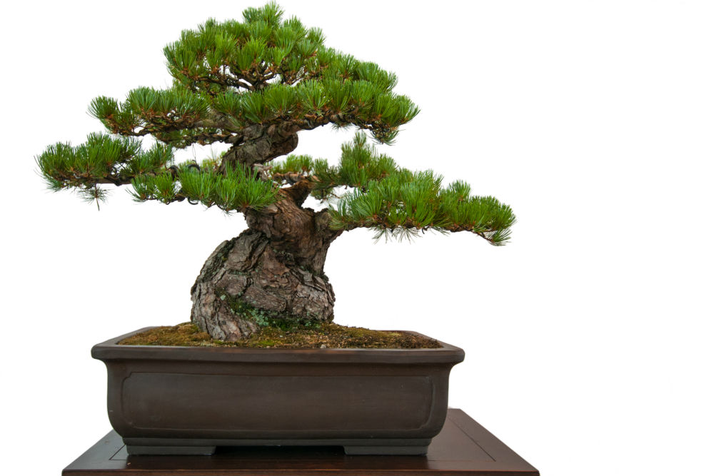 Japanese Black Pine Bonsai - How to Grow a Japanese Black ...