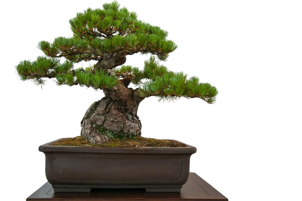 how to start a bonsai. Black Bedroom Furniture Sets. Home Design Ideas
