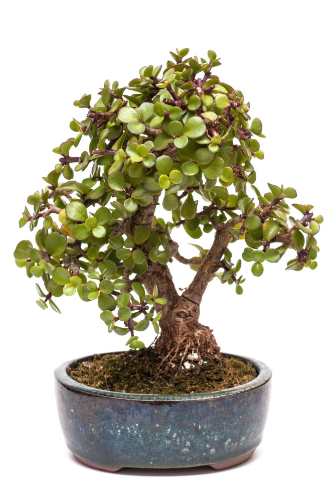 how to grow your own jade bonsai. Black Bedroom Furniture Sets. Home Design Ideas