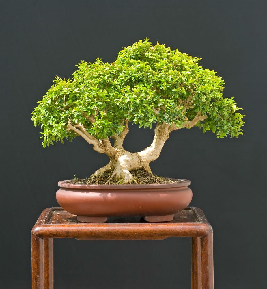 How To Grow Japanese Boxwood Bonsai