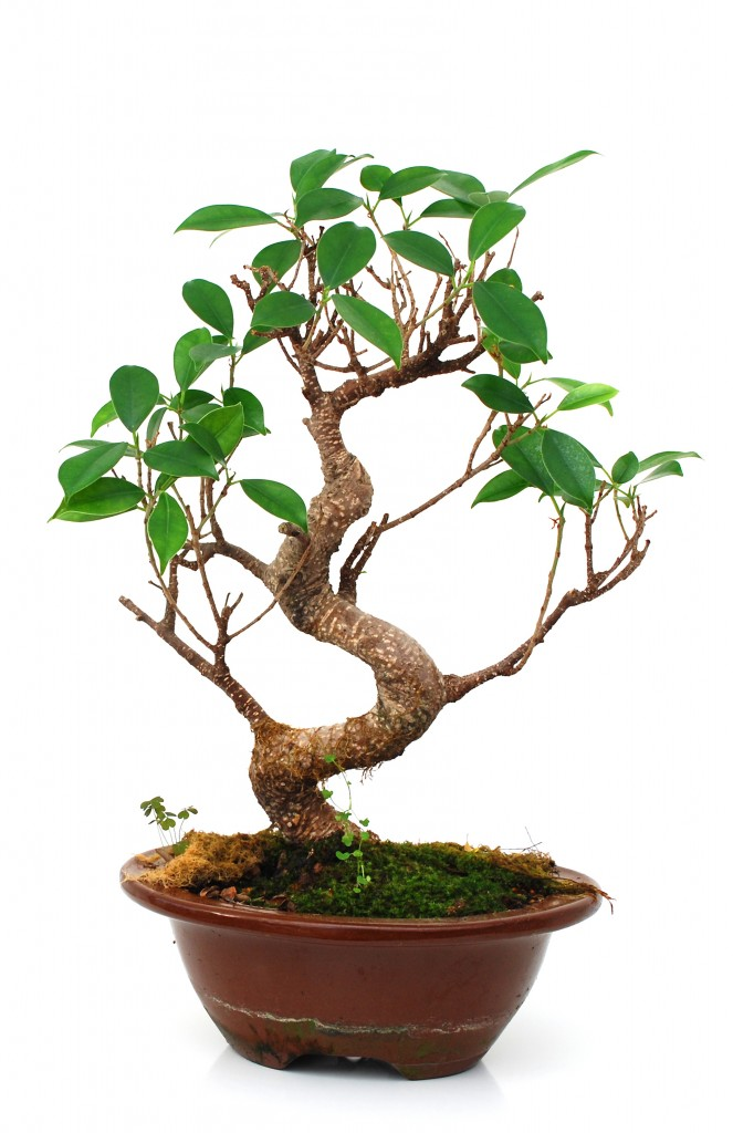 how to grow your own ficus bonsai. Black Bedroom Furniture Sets. Home Design Ideas