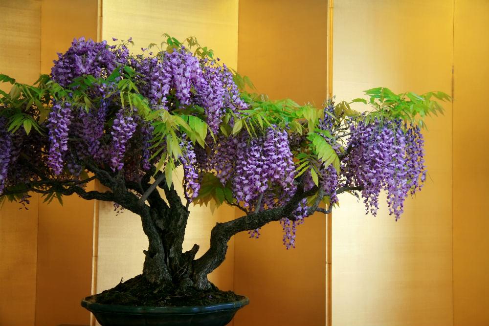 How To Grow A Wisteria Bonsai Tree