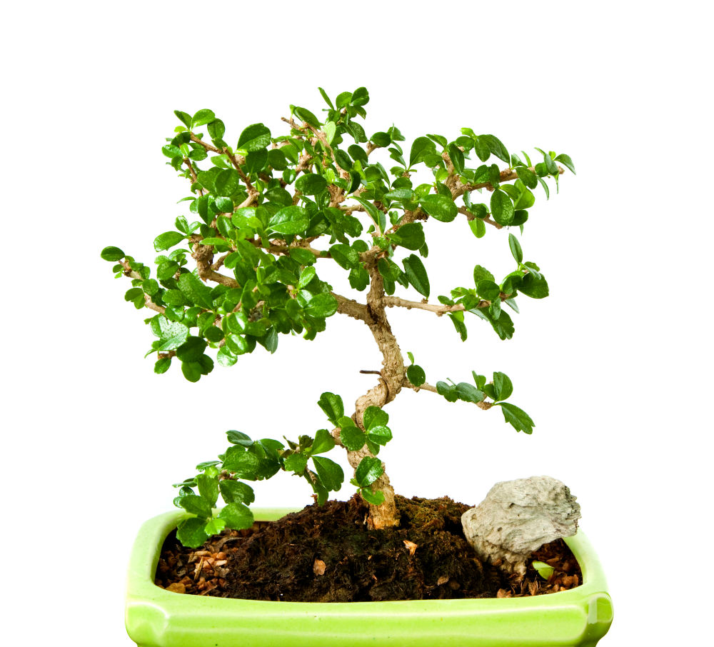 How To Grow A Fukien Tea Bonsai