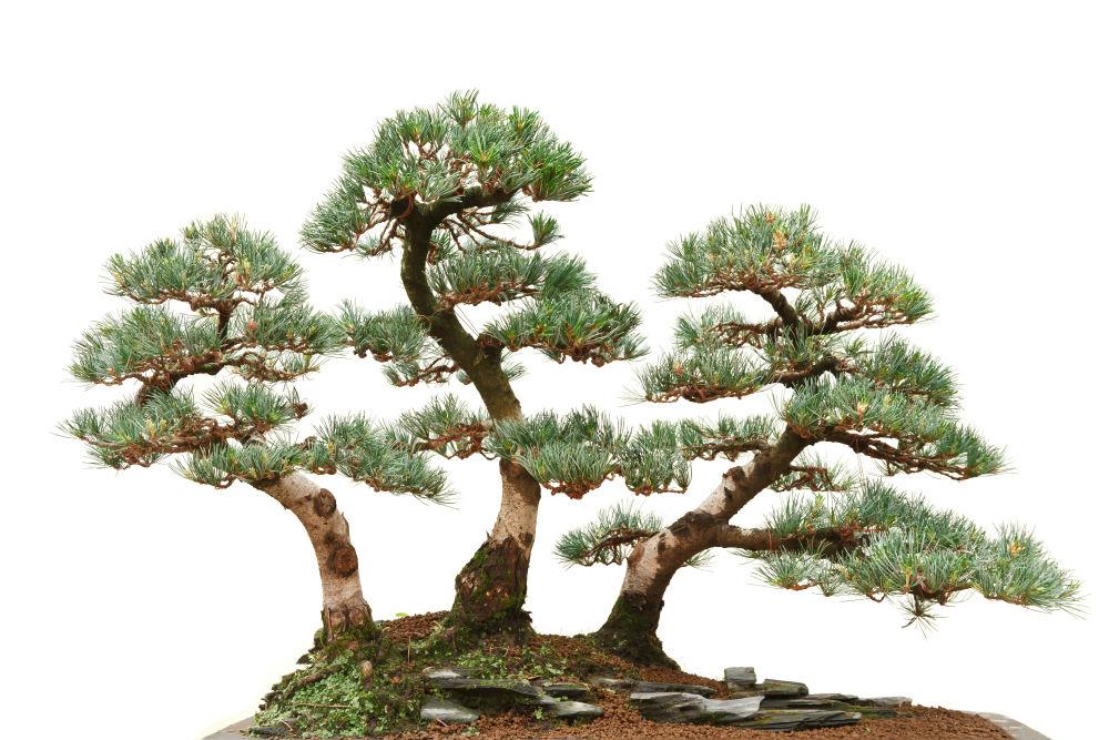 Japanese white pine bonsai how grow your japanese white for Bonsai tree pics