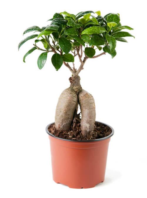 How To Grow A Ginseng Ficus Bonsai