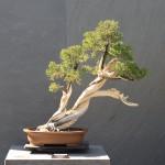 Slant Bonsai Style