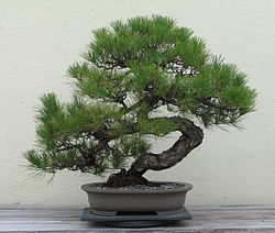 Informal Upright Style Bonsai - Bonsai Styles