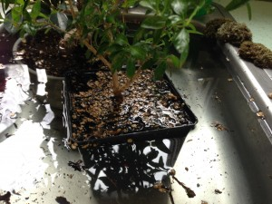 How to Water a Bonsai