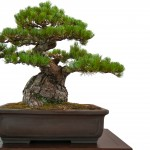 Old Japanese Black Pine Bonsai