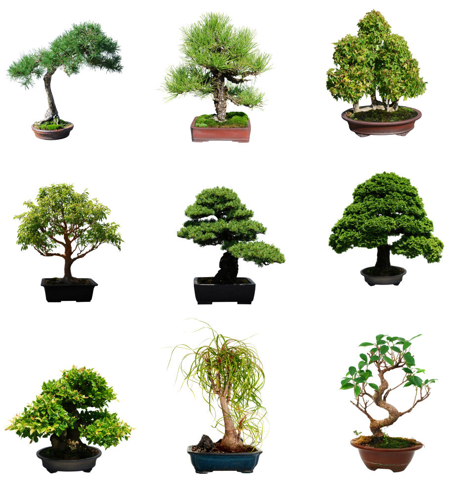 Bonsai Tree Types. 28 Bonsai Trees Uk Yew Trees As Bonsai ...
