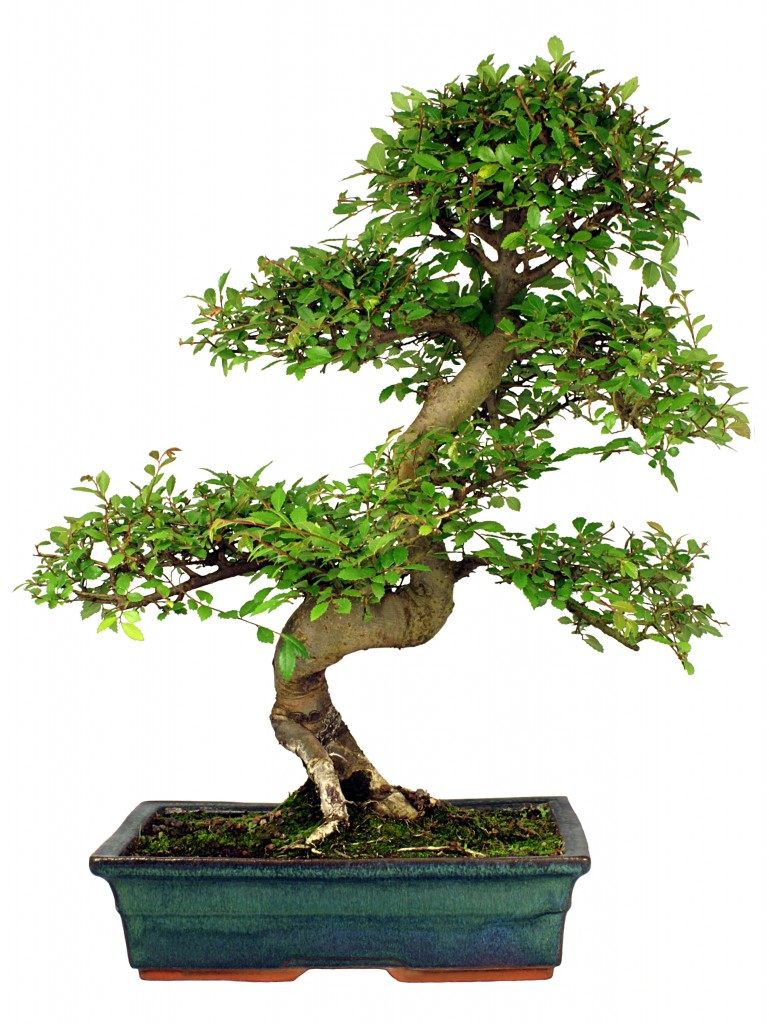 Chinese Elm Bonsai - Indoor Bonsai Tree