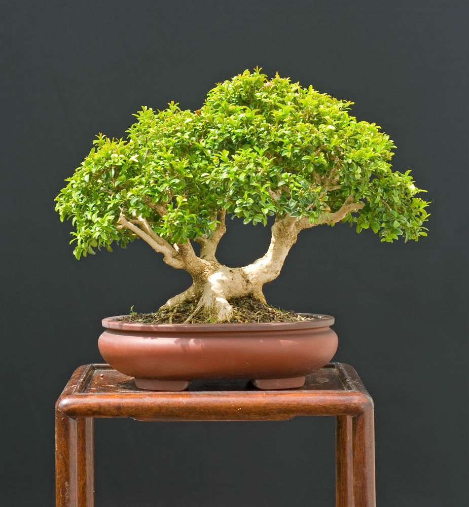How To Grow Japanese Boxwood Bonsai