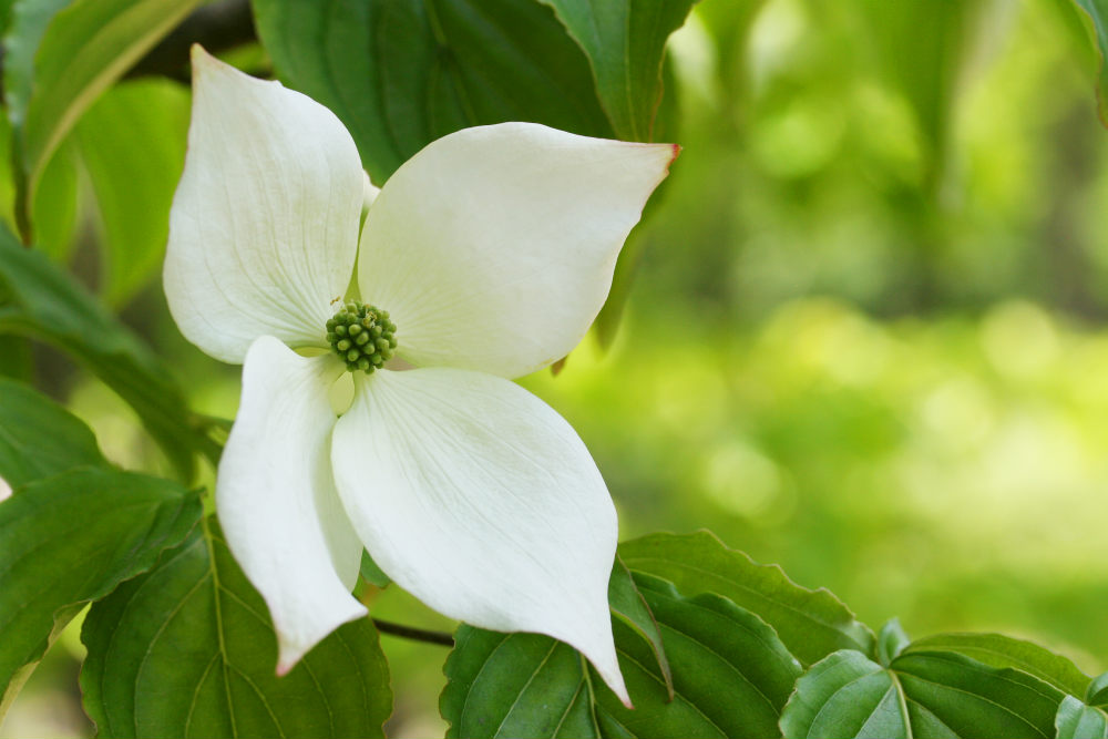 How to Grow Your Own Dogwood Bonsai