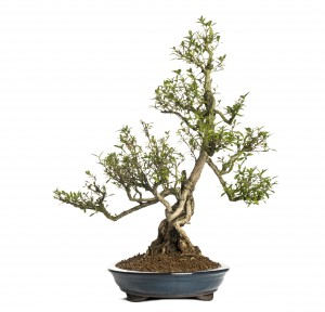Serissa Bonsai - Indoor Bonsai Tree