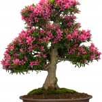 Azalea Bonsai - Indoor Bonsa Tree