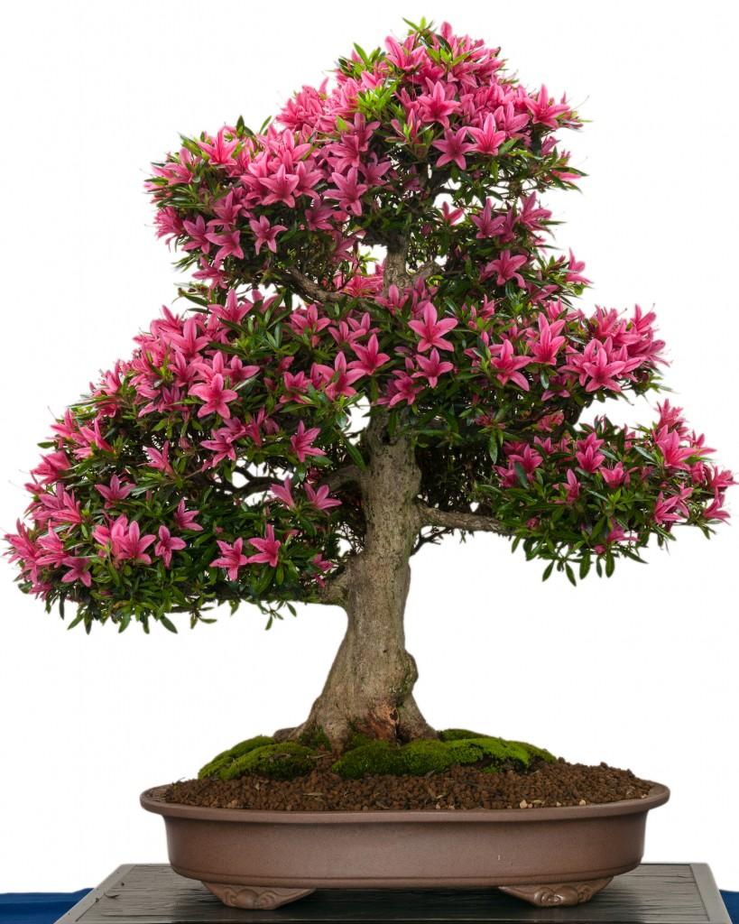 How To Grow Your Own Azalea Bonsai Tree A Wiring My