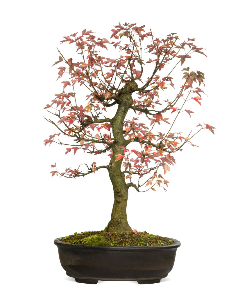 How To Grow A Trident Maple Bonsai Tree