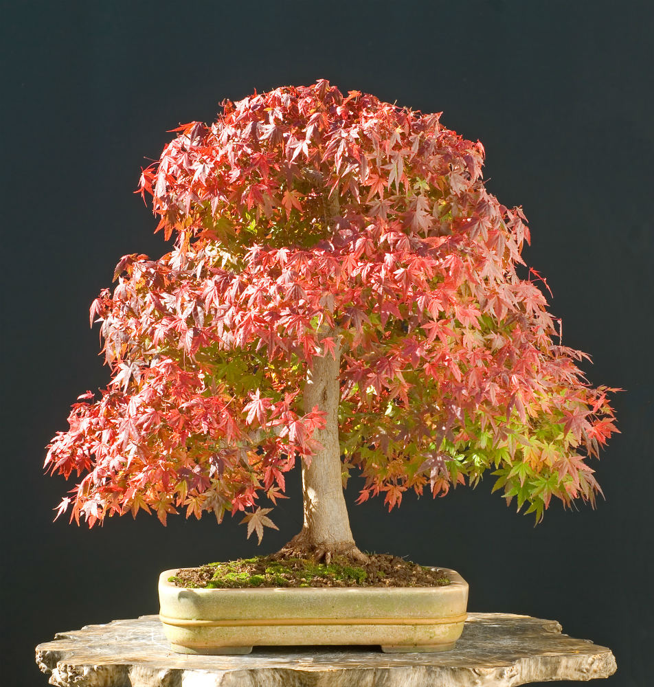 How To Grow Japanese Maple Bonsai Trees