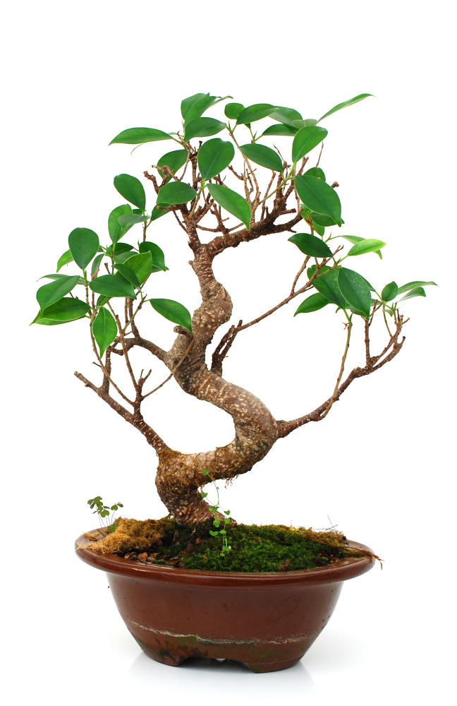 How To Grow A Ficus Bonsai (Ficus Microcarpa Bonsai)