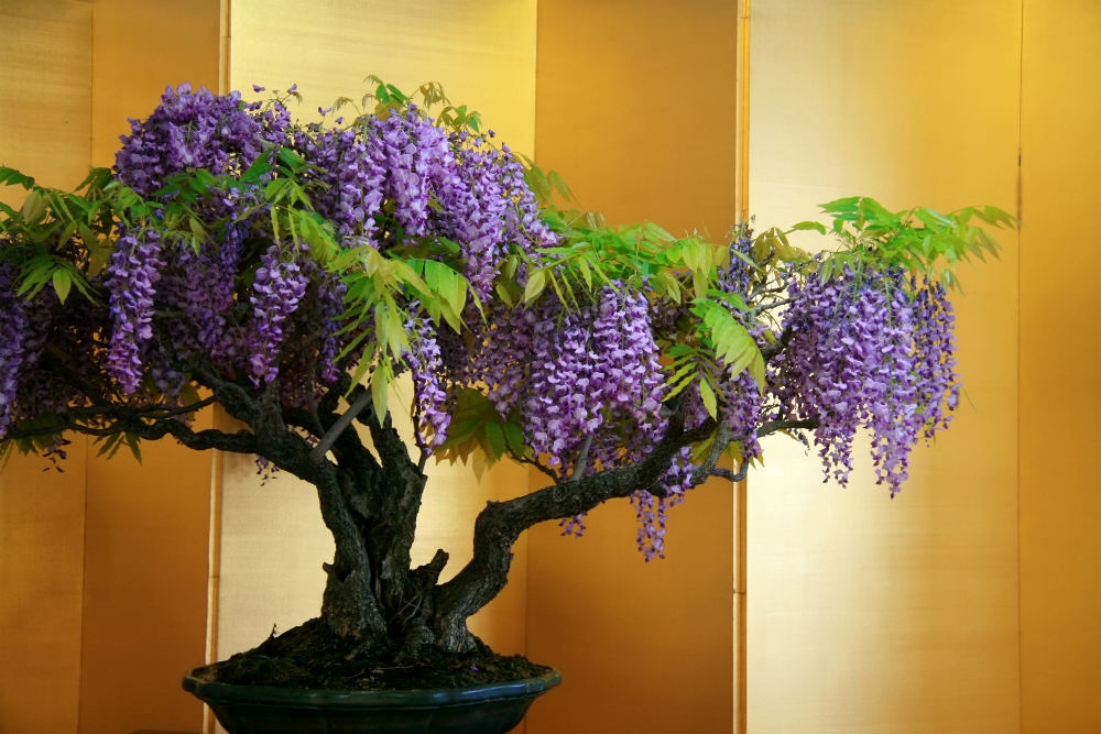 How To Grow A Wisteria Bonsai Tree