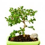 Jade Bonsai - Indoon Bonsai Tree