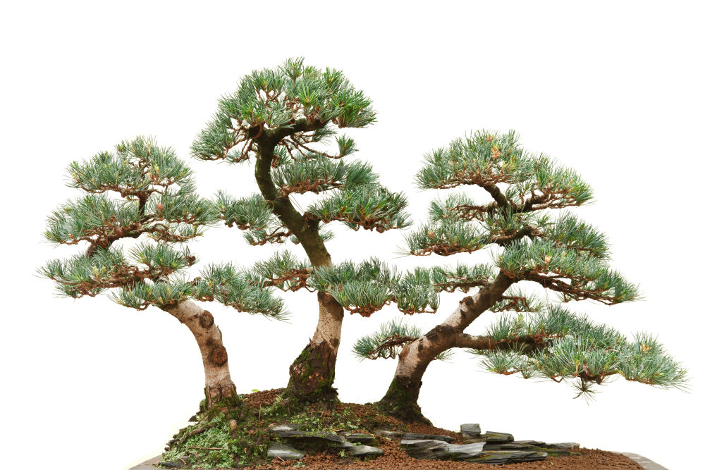 How To Grow Japanese White Pine Bonsai Trees