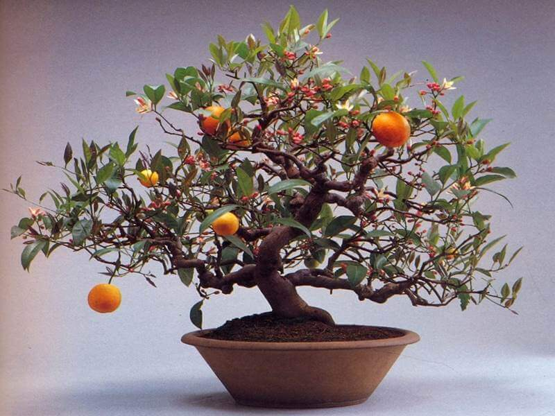 bonsai orange tree